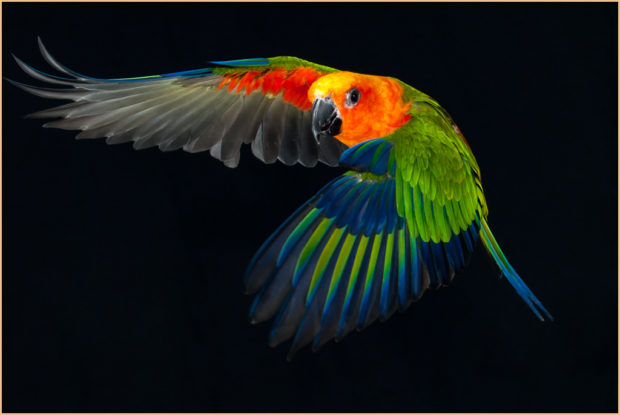 Jenday Conure in Flight