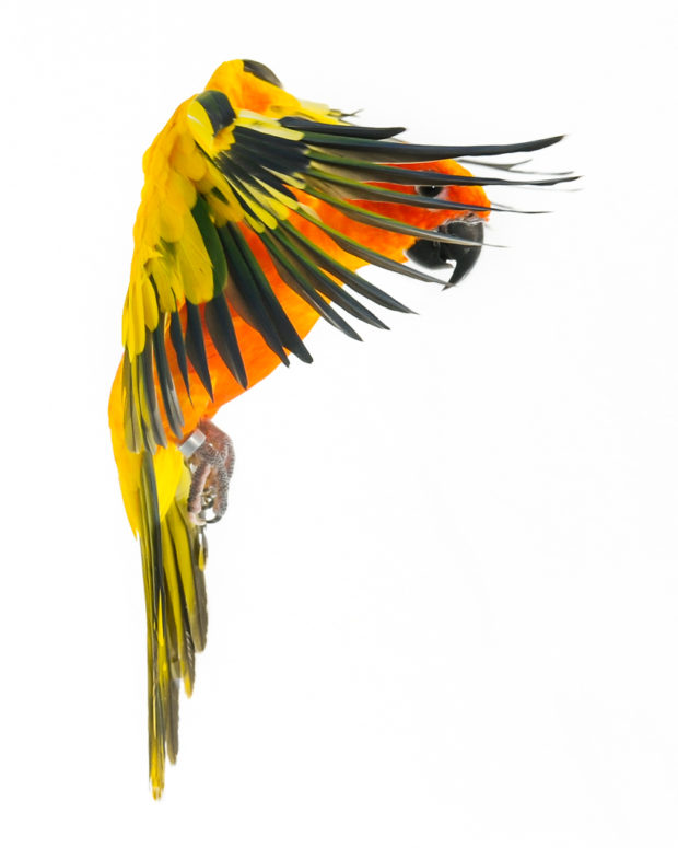 Sun Conure in Flight