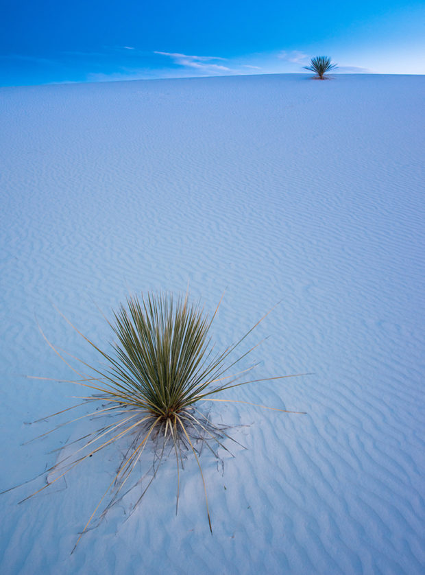 Two Yuccas at White Sands