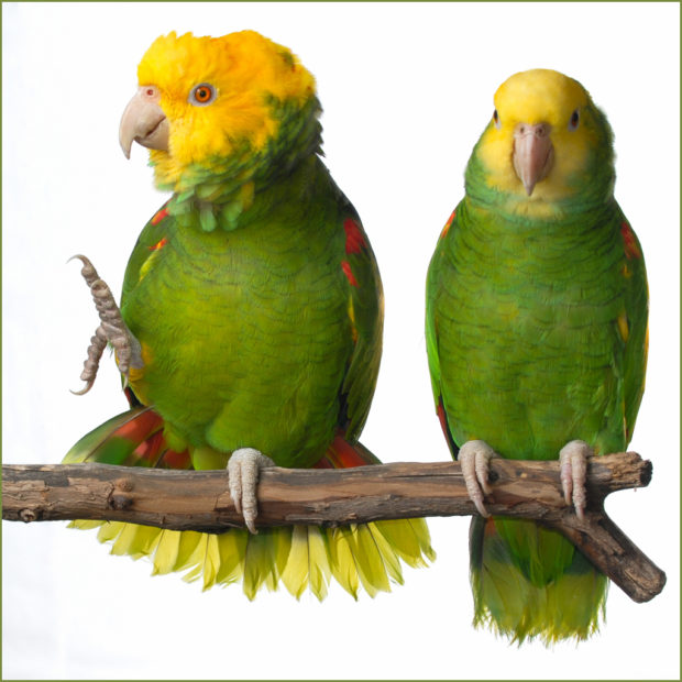 Double Yellow-headed Amazons