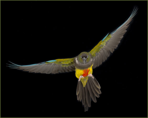 Patagonian Conure in Flight