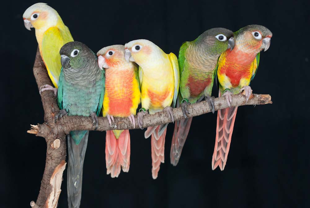 Green-cheeked Conures – Avian Resources