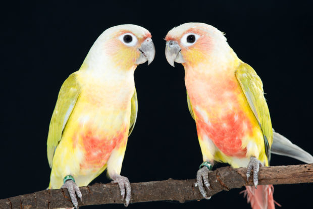 Dilute Green-cheek Conures