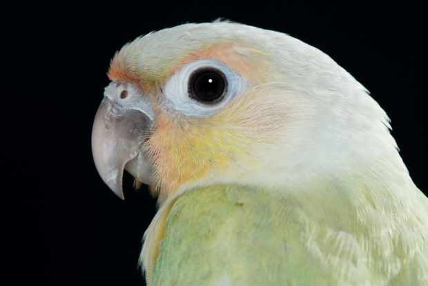 Opamint Green-cheeked Conure