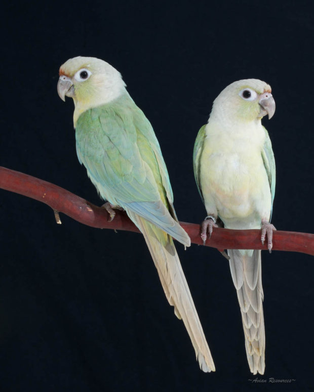 Mint Green-cheek Conures