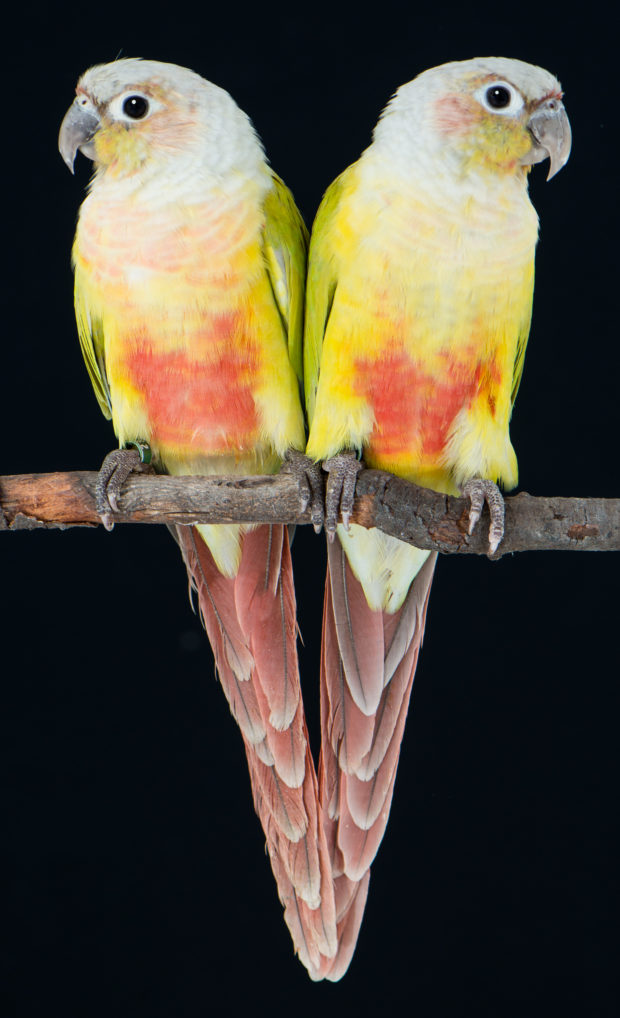 Dilute Green-cheeked Conures