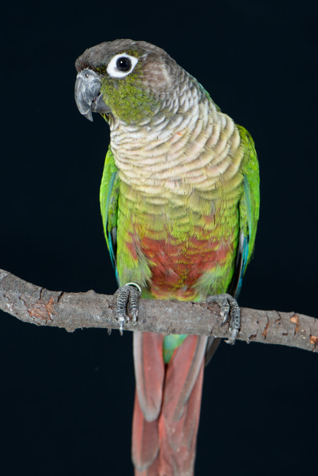 Normal Green-cheeked Conure