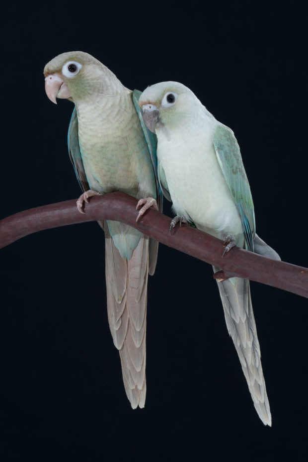 Turquoise Cinnamon vs Mint Green-cheeked Conure