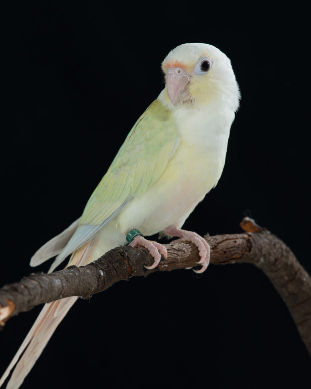 Cinnamint Green-cheek Conure