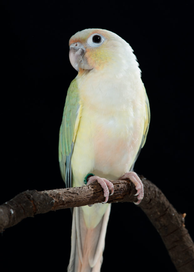 Dilute Turquoise Yellow-sided Green-cheek Conure