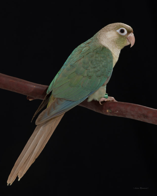 Turquoise Cinnamon Green-cheek Conure